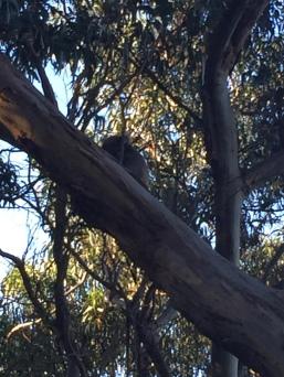 koala+great+ocean